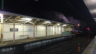 2019bunsuiyozakura4.jpg