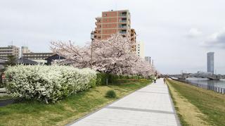 2019yasuragitei-sakura10.jpg