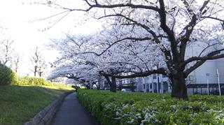 2019yasuragitei-sakura17.jpg