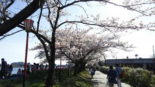 2019yasuragitei-sakura21.jpg