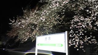 2019bunsuiyozakura1.jpg