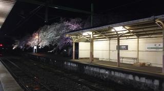 2019bunsuiyozakura2.jpg
