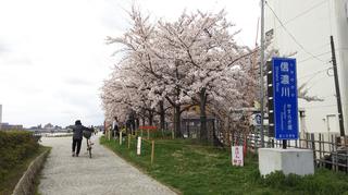 2019yasuragitei-sakura1.jpg