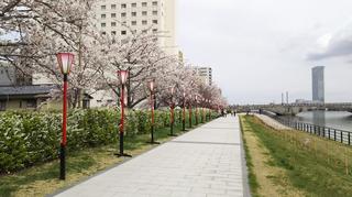 2019yasuragitei-sakura11.jpg