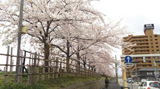 2019yasuragitei-sakura12.jpg