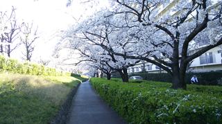 2019yasuragitei-sakura16.jpg