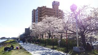 2019yasuragitei-sakura3.jpg